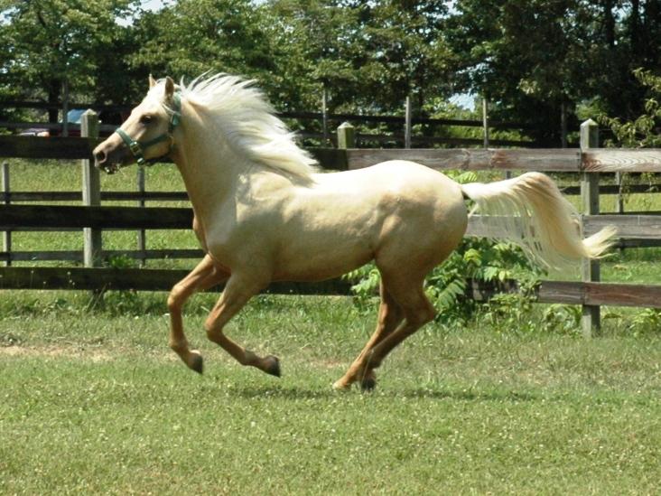 2010 Palomino Nashboro Morgan Horse Ranch